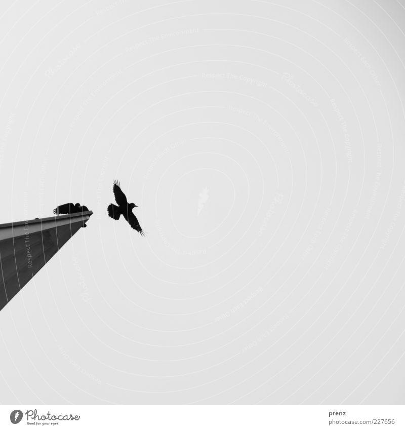 Abflug Tier Vogel 2 Beton fliegen grau schwarz Bewegung Ferne Krähe Spitze Himmel Abheben Flügel Vogelflug 1 Silhouette Ganzkörperaufnahme Schwarzweißfoto