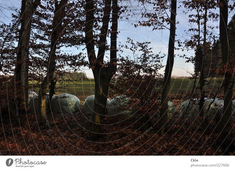 Sie sind da Himmel Natur blau grün Baum Pflanze Winter Wald Umwelt Landschaft braun Feld Ordnung ästhetisch Landwirtschaft Forstwirtschaft