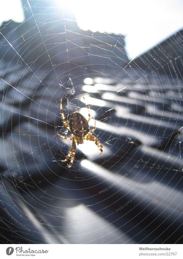 Spiderman Spinne Haus Dach krabbeln klein Schädlinge Herbst Verkehr August Netz haloween Angst Rücken Sonne