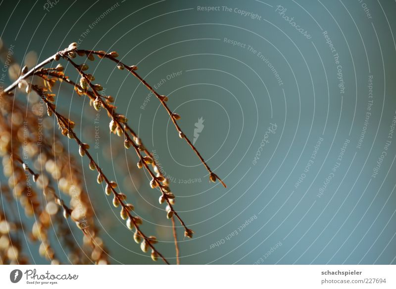 einfach mal abhängen Natur Pflanze Leben Umwelt Frühling Zweig Blattknospe aufwachen