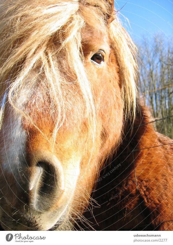 Isländer Tier Verkehr Pferd Pony Schnauze Haare & Frisuren
