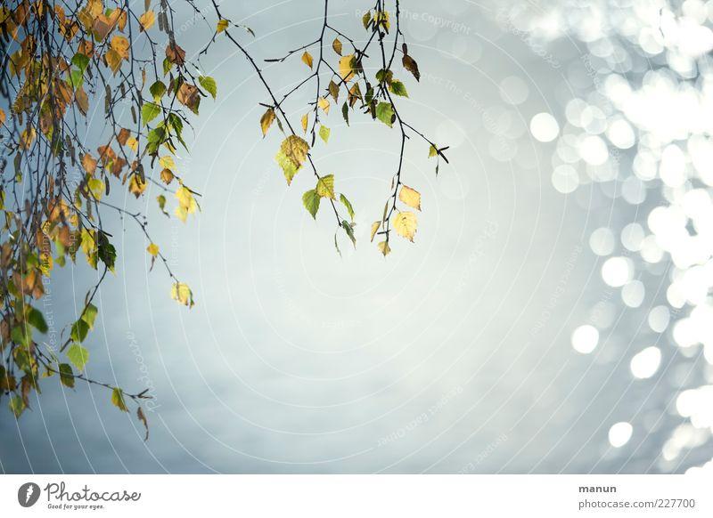 PlingPling Birke Natur Birkenblätter Zweige u. Äste Herbstfärbung Herbstbeginn herbstlich glänzend leuchten natürlich schön Farbfoto Außenaufnahme