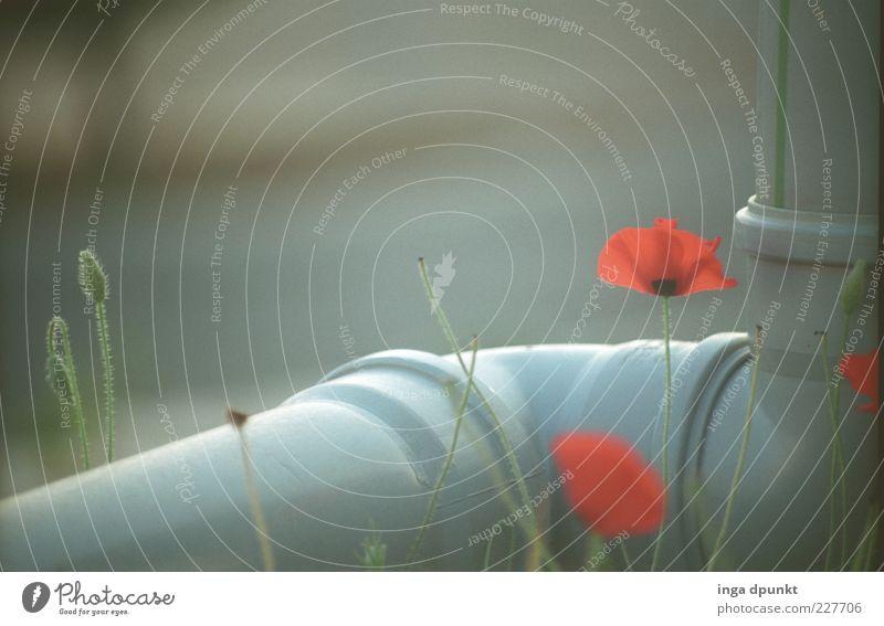 Einfach hinweg- über graue Tristesse Wasserrohr Pflanze Blume Blüte Wildpflanze Mohn Mohnblüte Kunststoff Blühend leuchten verblüht Wachstum außergewöhnlich rot