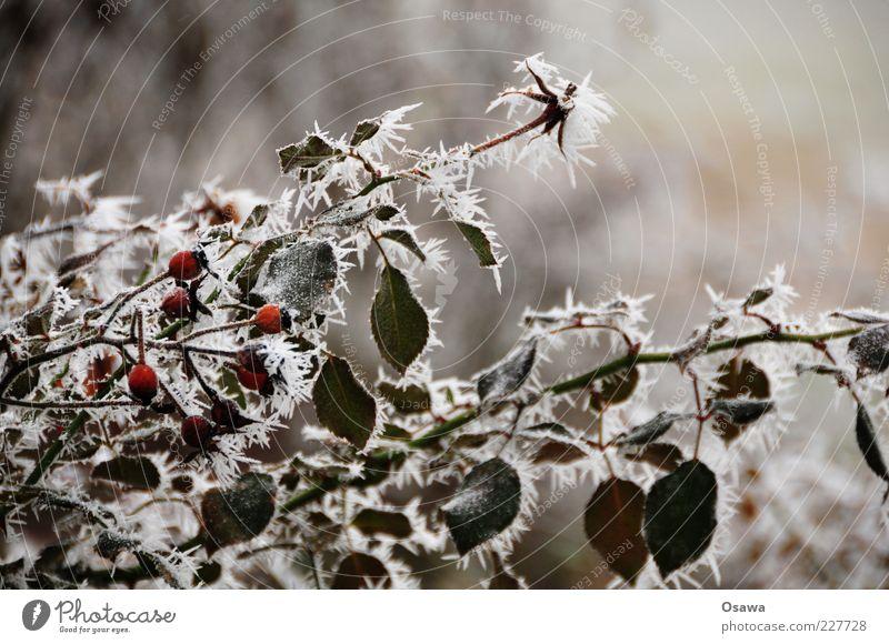 Eisnebel Pflanze Sträucher Hagebutten Blatt Ast Zweig kalt gefroren Nebel Kristallstrukturen Eiskristall Schneekristall Winter Schwache Tiefenschärfe