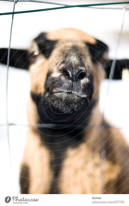 Dame von Welt Tier Nutztier Tiergesicht Schaf Schnauze Nase Auge Kopf 1 Zaun Blick frech hell selbstbewußt Coolness Hochmut Stolz Übermut Natur Vieh Farbfoto