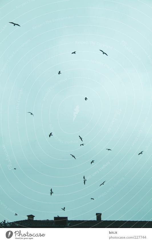 Die Vögel von Saint-Louis Umwelt Himmel Wolken Winter schlechtes Wetter Wind Haus Dach Schornstein fliegen Vogel Vogelschwarm Dynamik Luft Aufschwung kreisen