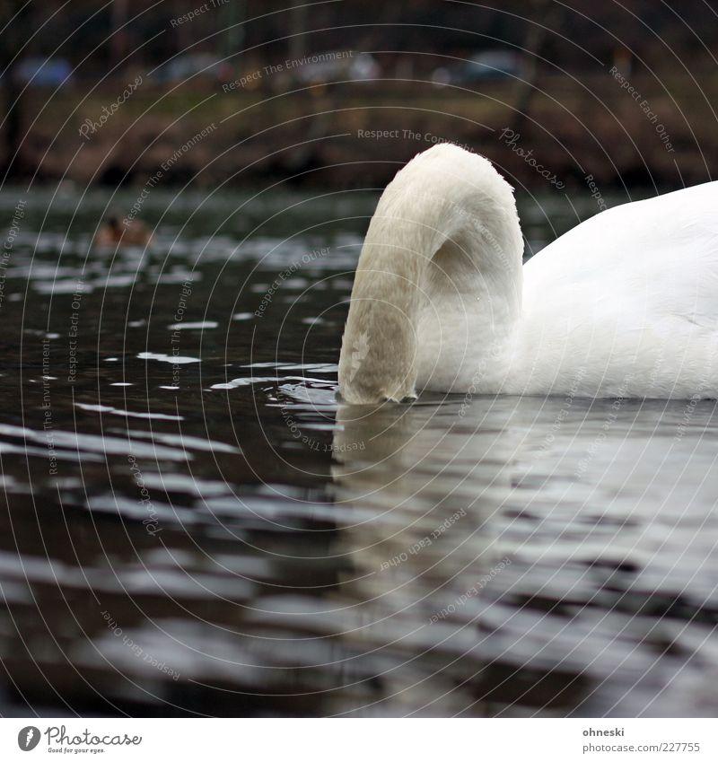 Muscheltaucher Wasser Tier Wildtier trinken Fluss tauchen verstecken Hals Fressen Schwan Wasseroberfläche gefiedert Nahrungssuche Wasserspiegelung