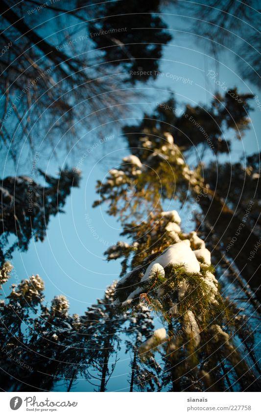 Ents Umwelt Natur Landschaft Pflanze Himmel Winter Schönes Wetter Eis Frost Schnee Baum Wald groß hoch kalt Baumkrone schwer hängend Ast Schneedecke schmelzen