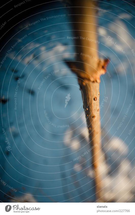 stocksteif Natur blau Pflanze Winter kalt Schnee Eis Wachstum Frost Ast nah Tanne Baumstamm Stock Zweig kahl