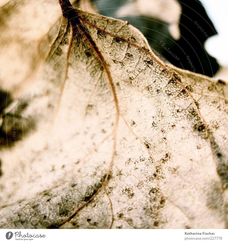 Zeitzeuge Winter Natur Herbst Blatt trocken braun Jahreszeiten getrocknet Unschärfe Blattadern durchleuchtet Sonnenlicht Textfreiraum Menschenleer vertrocknet