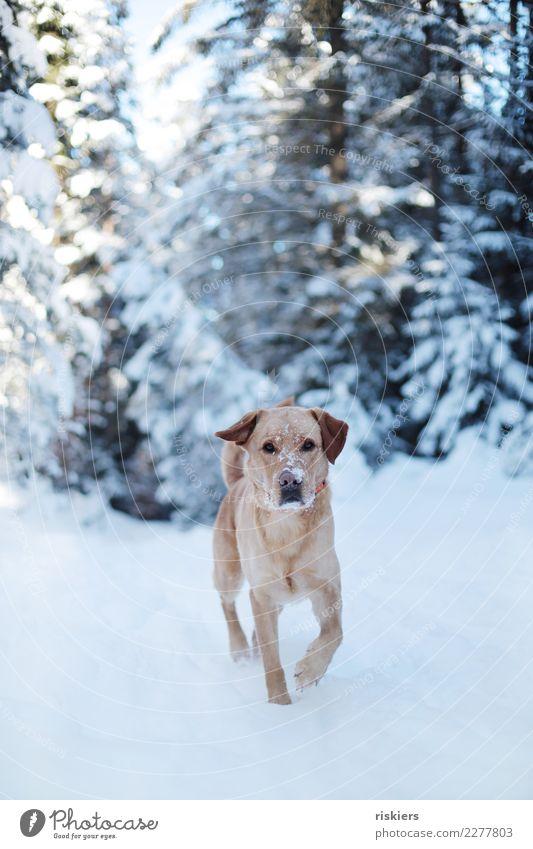 Schneenase Umwelt Natur Landschaft Winter Schönes Wetter Wald Tier Haustier Hund 1 beobachten laufen Blick ästhetisch blond frei Freundlichkeit schön natürlich