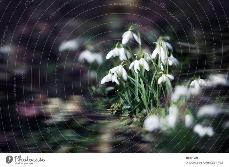 Schneeglöckchen Natur schön Blume Blatt Garten Blüte Frühling authentisch außergewöhnlich fantastisch Stengel Blumenbeet Frühlingsgefühle Frühlingsblume