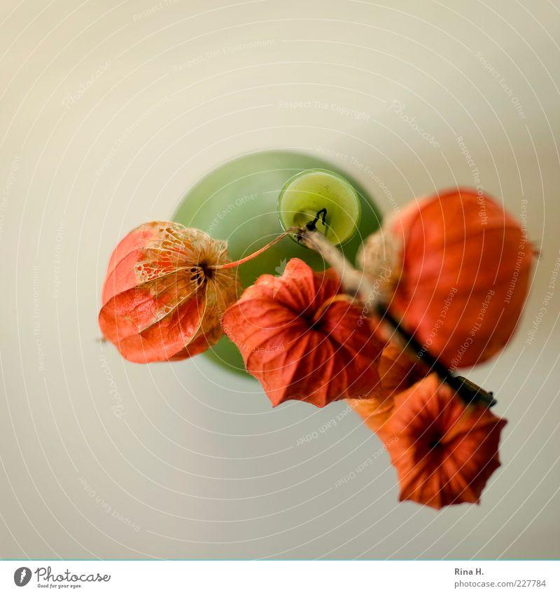 Lampions Blume Herbst Blüte orange leuchten Vergänglichkeit Stengel Verfall Stillleben Samen Vase Frucht verblüht Flaschenhals dehydrieren Südfrüchte