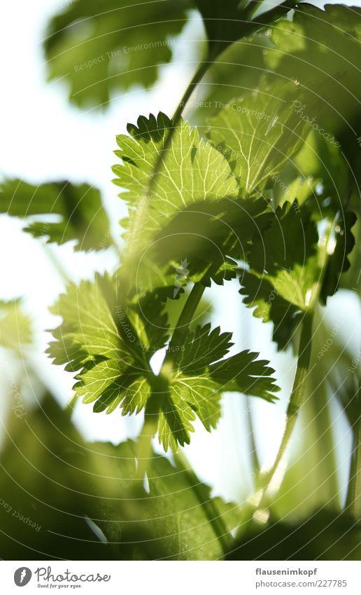 küchen koriander Lebensmittel Koriander Frühling Pflanze Blatt Topfpflanze Gesundheit grün Farbfoto Innenaufnahme Nahaufnahme Menschenleer Tag Sonnenlicht