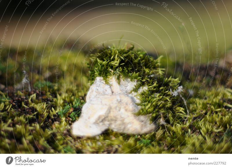 Knorpeltang Natur Pflanze Moos Stein grün Farbfoto Außenaufnahme Nahaufnahme Unschärfe Schwache Tiefenschärfe Textfreiraum oben bewachsen Menschenleer