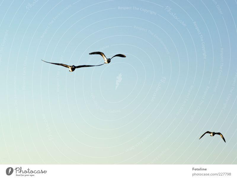 Freiflug Umwelt Natur Tier Urelemente Luft Himmel Wolkenloser Himmel Wildtier Vogel Flügel Schwarm fliegen hell natürlich blau Farbfoto mehrfarbig