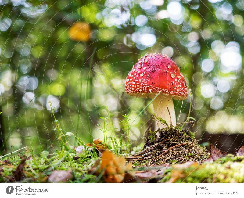 Fliegenpilz Natur Pflanze grün rot Wald Umwelt Pilz Waldboden bodennah