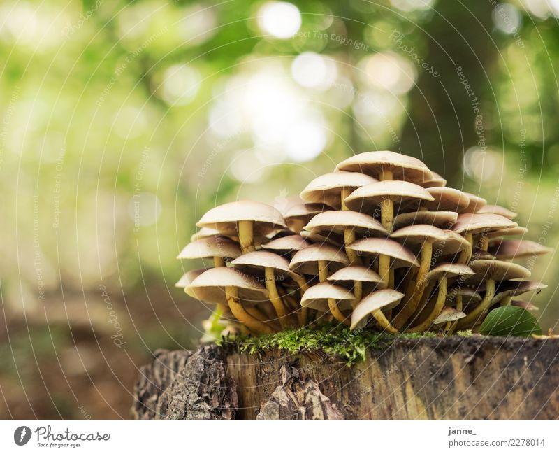 Pilze Natur Pflanze Herbst Wald gelb grün mushroom Farbfoto Nahaufnahme Menschenleer Textfreiraum links Textfreiraum oben Tag Licht Sonnenlicht