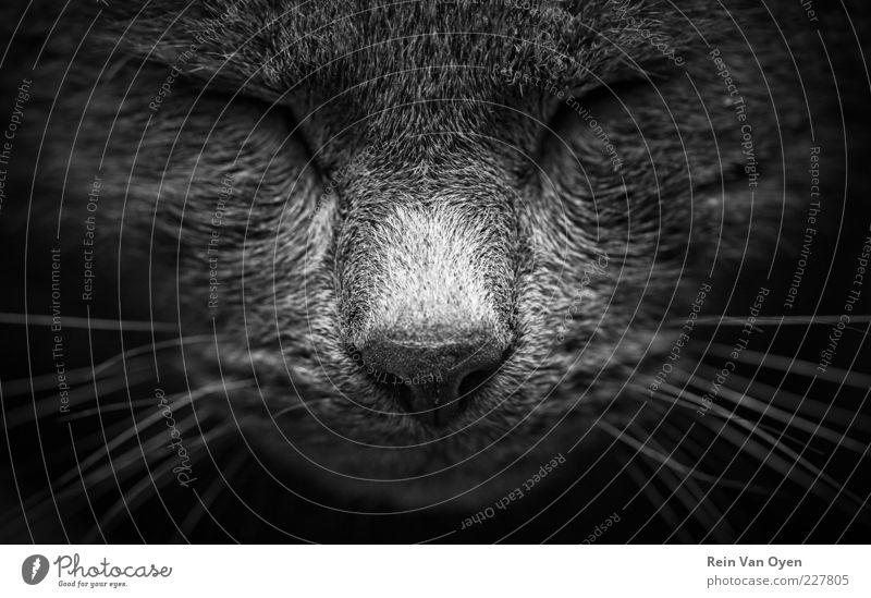Entspannende Katze Haustier Tiergesicht 1 Denken genießen liegen schlafen ästhetisch Freundlichkeit kuschlig nah natürlich niedlich schön weich grau schwarz