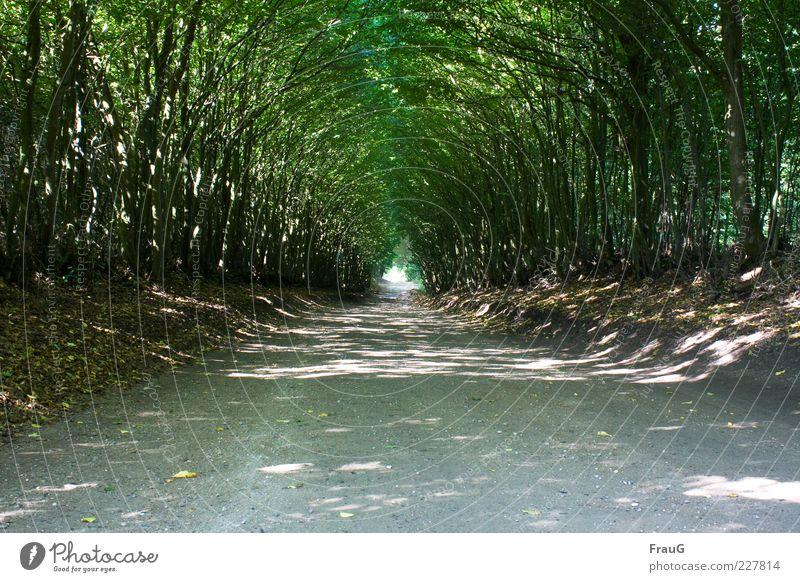 Lichttunnel Ferne Sommer Natur Sonnenlicht Schönes Wetter Baum Holsteinische Schweiz Wege & Pfade Erholung natürlich Geborgenheit Stimmung Farbfoto