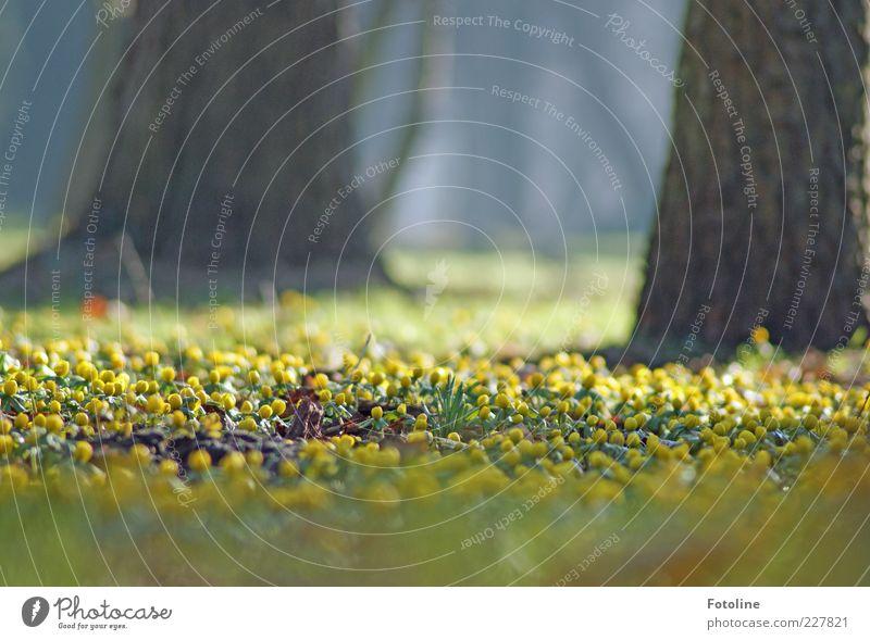 Happy Birthday Akkianer! :-) Umwelt Natur Landschaft Pflanze Urelemente Frühling Baum Blume Blüte Wildpflanze hell natürlich gelb Winterlinge Frühblüher