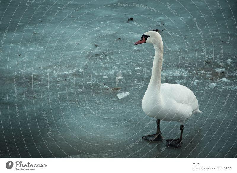 Bläck Füß Umwelt Tier Winter Klima Eis Frost Wildtier Vogel Schwan 1 stehen dunkel kalt blau grau weiß Einsamkeit Feder Eisfläche gefroren Farbfoto