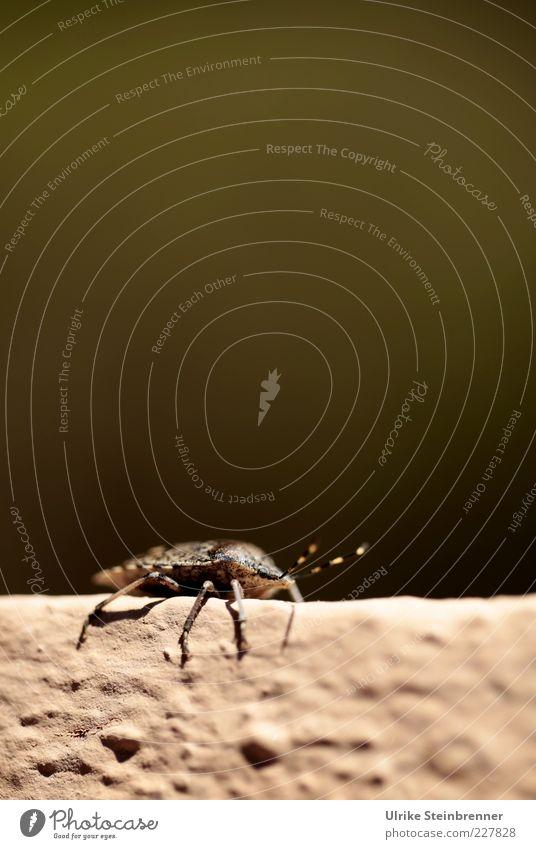 Mauer Lauer Tier Kopf Beine sitzen warten Wildtier krabbeln Fühler hocken Schädlinge Wanze Halbflügler