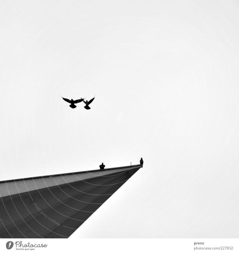 die zwei und zwei Himmel Tier schwarz Umwelt grau Luft Vogel fliegen Beton Flügel Spitze Froschperspektive gleich Krähe synchron Vogelflug