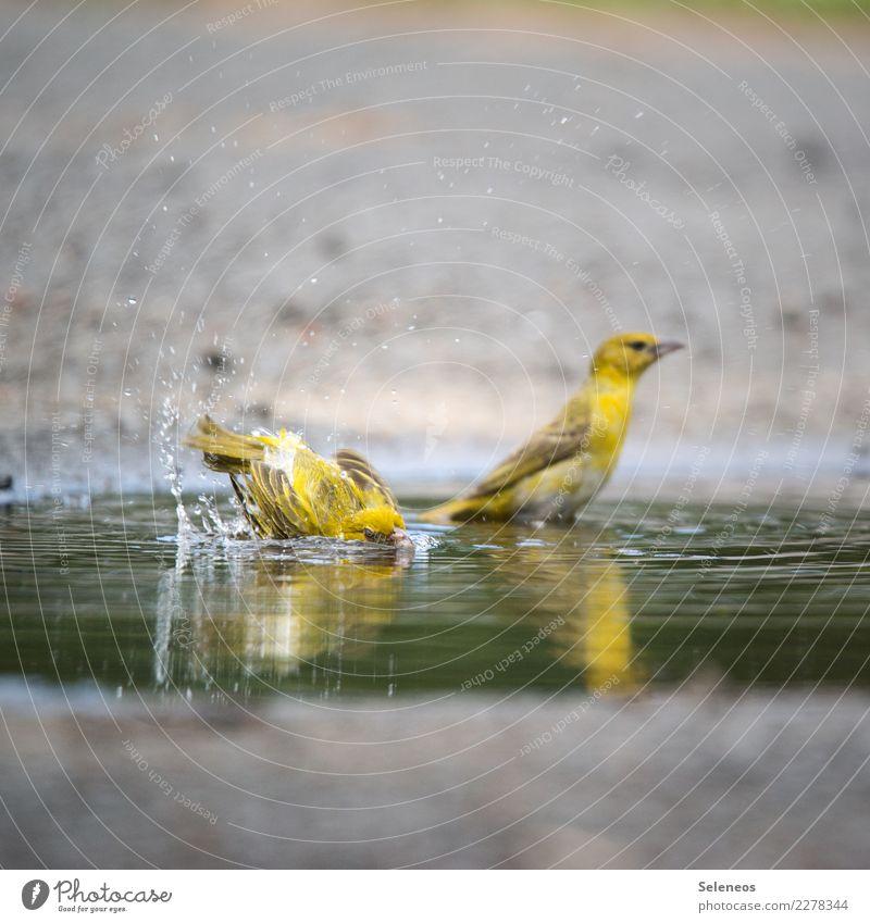let's go for s swim Wasser Wassertropfen Sommer Tier Wildtier Vogel 2 Schwimmen & Baden nass natürlich Pfütze Ornithologie Farbfoto Außenaufnahme Tierporträt