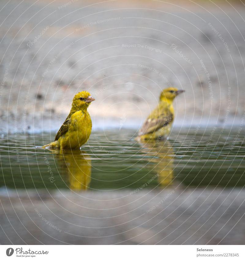 mit Goldmund Wasser Tier natürlich Schwimmen & Baden Vogel Wildtier Wassertropfen nass nah Tiergesicht Pfütze Ornithologie