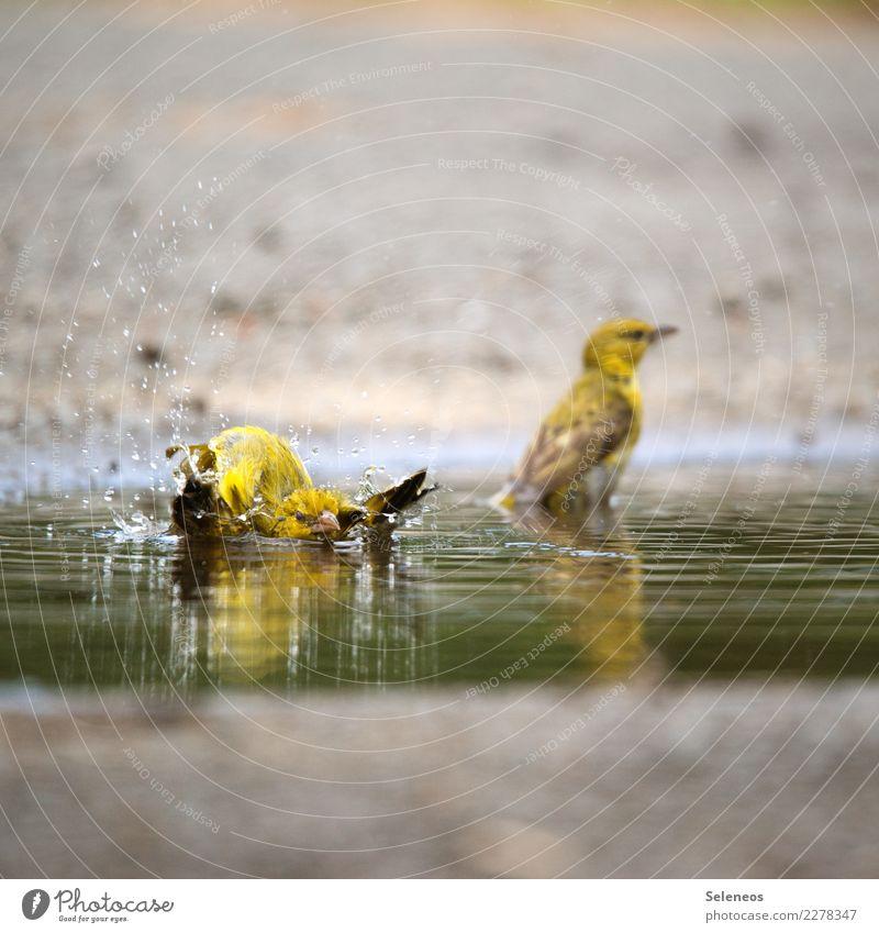 Bademeister Umwelt Natur Wasser Wassertropfen Tier Wildtier Vogel 2 Schwimmen & Baden nass natürlich Ornithologie Farbfoto Außenaufnahme Tierporträt
