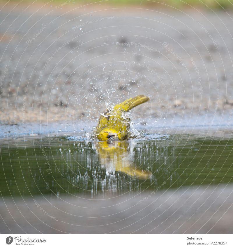 kleine Erfrischung Wohlgefühl Zufriedenheit Freiheit Sommer Sonnenbad Wasser Wassertropfen Tier Wildtier Vogel 1 Schwimmen & Baden nass natürlich Farbfoto