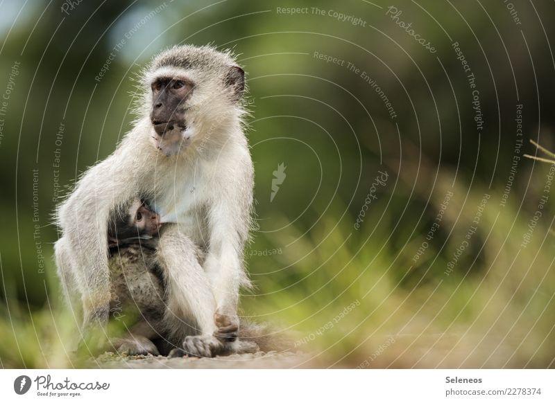 an Mutters Busen Ferien & Urlaub & Reisen Sommer Tier Ferne Tierjunges natürlich Tourismus Freiheit Ausflug Wildtier weich Sommerurlaub nah Afrika Säugetier