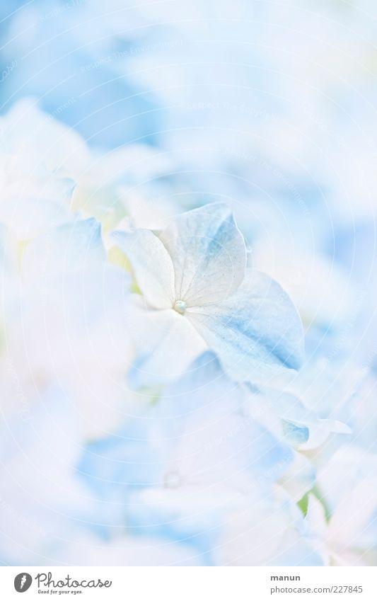 babyblau Natur Blume Blüte Hortensienblüte Hortensienblätter Duft hell schön Frühlingsgefühle ästhetisch Leichtigkeit hell-blau zart Farbfoto Nahaufnahme