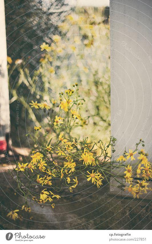 drüben an der Ecke Pflanze Sommer Herbst Schönes Wetter Blume Grünpflanze Menschenleer Mauer Farbfoto Tag Sonnenlicht Schwache Tiefenschärfe Außenaufnahme gelb