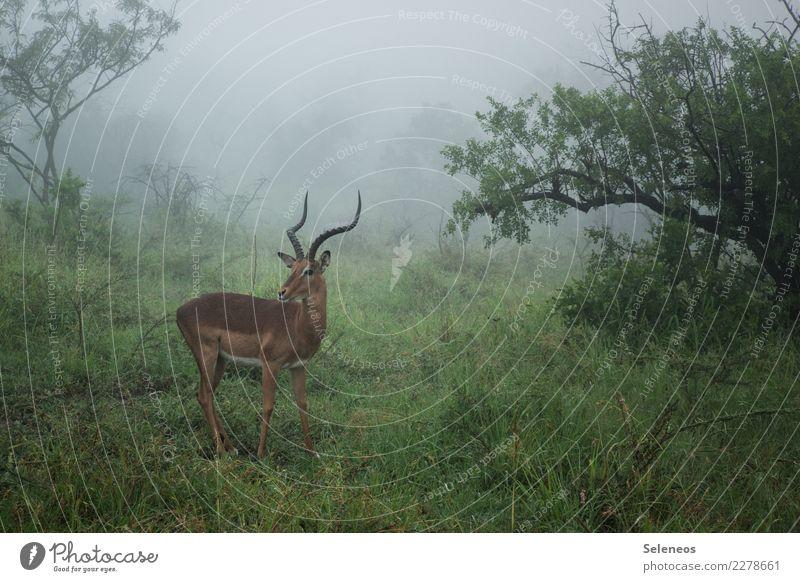 Regenzeit Ferien & Urlaub & Reisen Tourismus Ausflug Abenteuer Ferne Freiheit Safari Umwelt Natur Nebel Baum Sträucher Wald Südafrika Afrika Tier Wildtier Horn