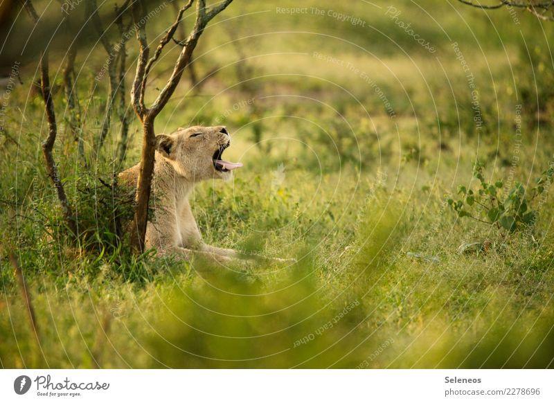*gähn* Natur Ferien & Urlaub & Reisen Sommer Tier Ferne Umwelt natürlich Gras Tourismus Freiheit Ausflug frei Wildtier Sträucher Abenteuer Schönes Wetter