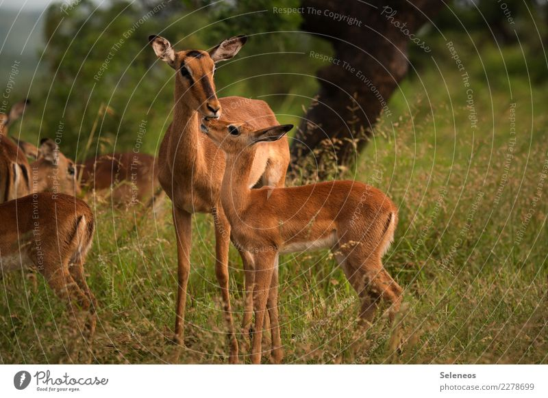 mütterliche Fürsorge Ferien & Urlaub & Reisen Tourismus Ausflug Abenteuer Ferne Freiheit Safari Expedition Sommer Umwelt Natur Tier Wildtier Impala Antilopen 2