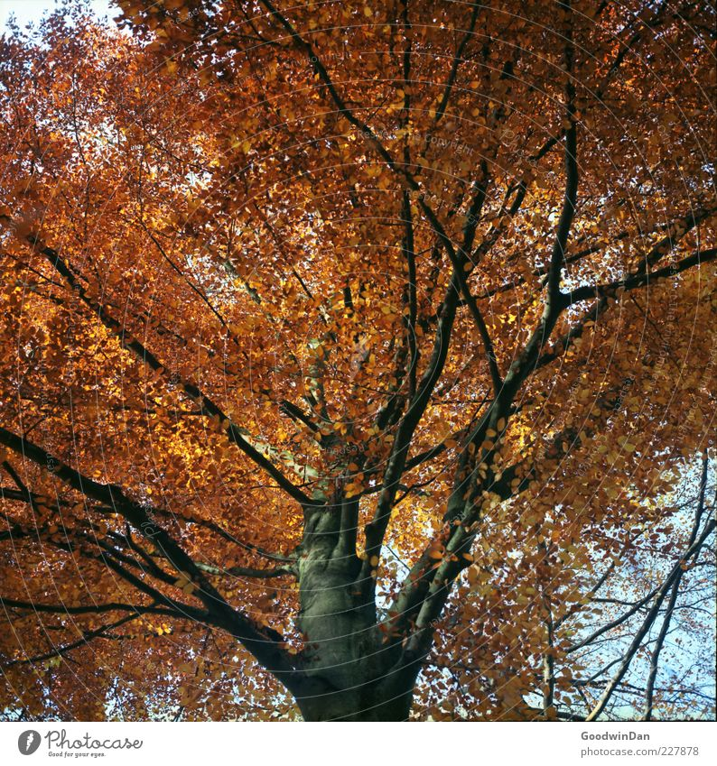Das Ergebnis III Natur alt Baum Pflanze Herbst Umwelt hell groß authentisch viele Baumkrone gigantisch herbstlich Laubbaum Zweige u. Äste Herbstfärbung