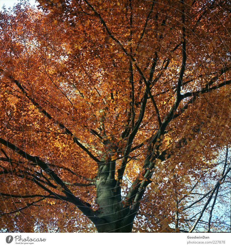 Das Ergebnis III Umwelt Natur Herbst Pflanze Baum alt authentisch gigantisch groß hell viele Farbfoto Außenaufnahme Tag Licht Schwache Tiefenschärfe