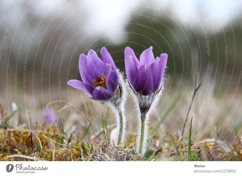 Küchenschellen Kuhschelle Blume Frühling Morgen Wiese März Blüte Pflanze schön Hahnenfuß Wald Gras Natur wild violett blau grün Blütenblatt Farbe Botanik