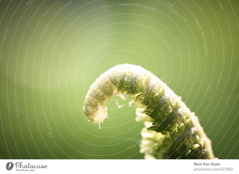 Gelocktes Blatt Pflanze Farn Wachstum frisch schön ruhig Beginn Natur grün klein Farbfoto mehrfarbig Außenaufnahme Nahaufnahme Detailaufnahme Makroaufnahme