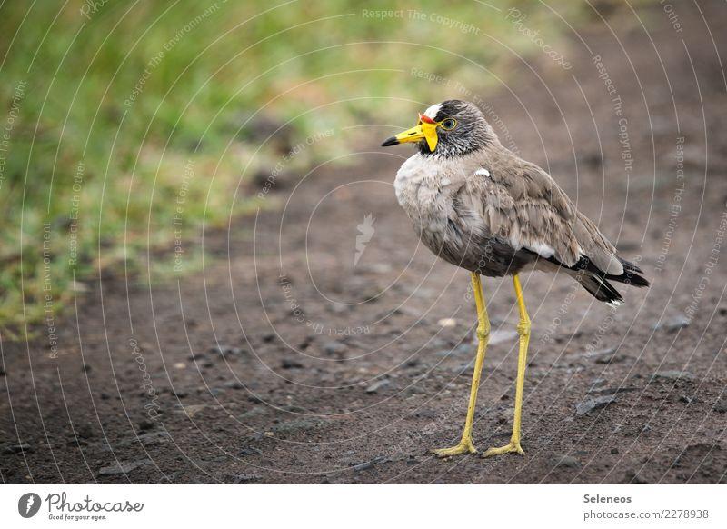 Senegalkiebitz Natur Tier Umwelt natürlich Freiheit Vogel frei Wildtier nah exotisch Tiergesicht Expedition Ornithologie