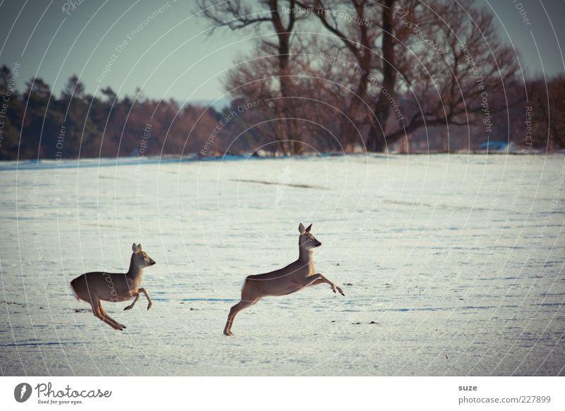 Junge Hüpfer Jagd Winter Umwelt Natur Landschaft Tier Himmel Baum Wald Wildtier 2 Tierpaar rennen springen wild Reh Flucht Zufall Bewegung Geschwindigkeit