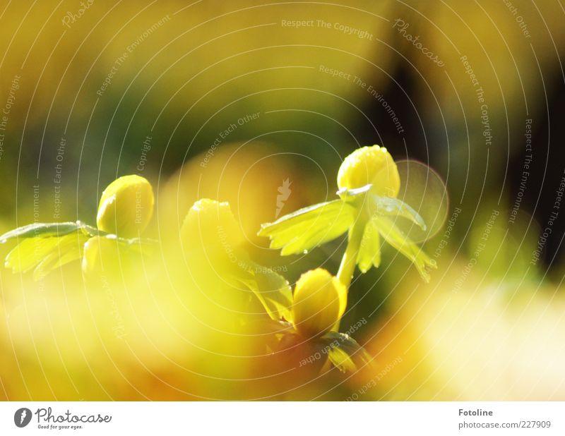 Ich träum vom Frühling... Umwelt Natur Pflanze Urelemente Wasser Wassertropfen Blume Blatt Blüte Wildpflanze hell natürlich Wärme gelb grün Winterlinge Blühend