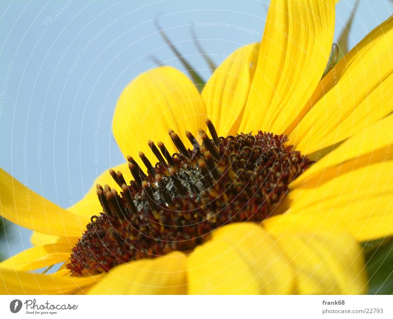 Sonneblume Blume Pflanze Wiese Sonnenblume