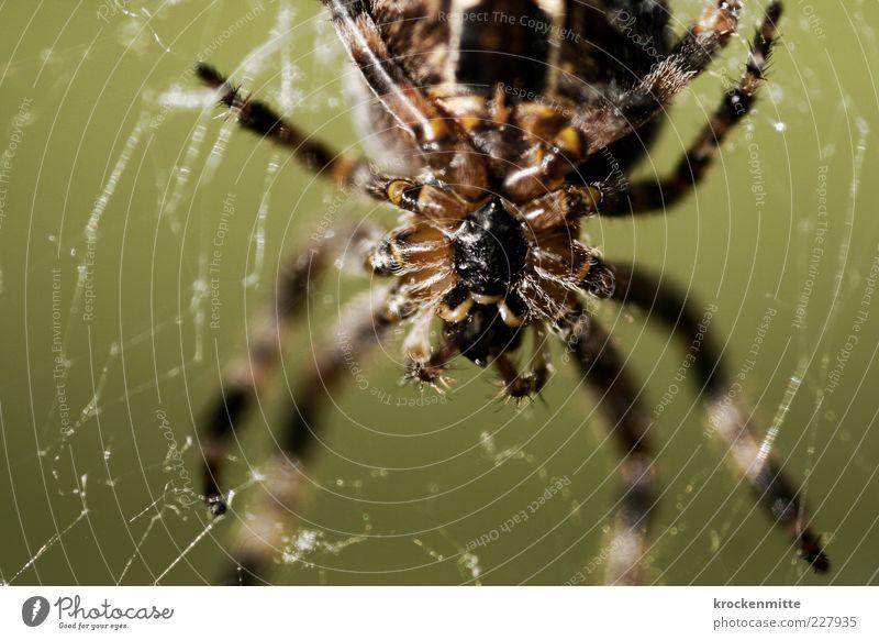 Kiss of the Spider Woman Natur Tier schwarz braun Spinne Makroaufnahme Spinnennetz Netz Unschärfe Spinnenbeine