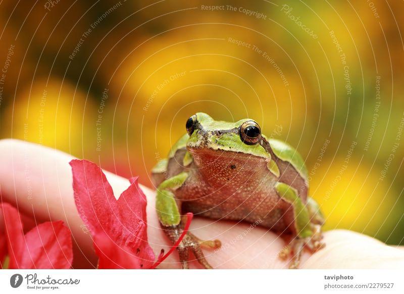Schöner grüner Baumfrosch auf menschlicher Hand Mensch Natur Farbe schön Tier Gesicht Leben gelb Umwelt natürlich klein Garten wild