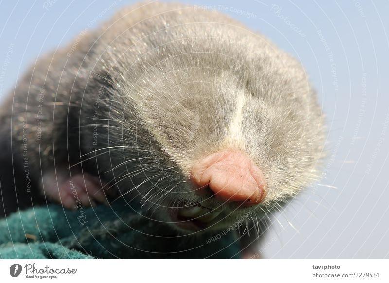 Nahaufnahme von kleiner Maulwurf Ratte Kopf schön Gesicht Familie & Verwandtschaft Zähne Natur Tier Wiese Pelzmantel niedlich wild braun grau grün Leberfleck