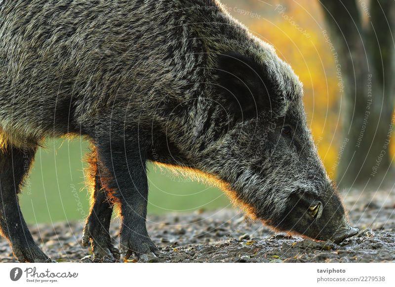 Nahaufnahme des wilden Ebers im Sonnenunterganglicht schön Gesicht Jagd Mann Erwachsene Natur Tier Wald Pelzmantel groß natürlich braun gefährlich Farbe sus